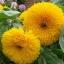 ทานตะวัน เทดดี้แบร์ - Teddy Bear Sunflower thumbnail 1