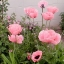 ดอกป็อปปี้โอเรียนเต็ล คละสี - Oriental Poppy Flower Mix thumbnail 1