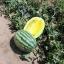 แตงโมคิมสันเนื้อสีเหลือง - Yellow Crimson Watermelon thumbnail 3