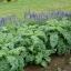 เคลใบหงิก - Vate Blue Curled Kale thumbnail 1