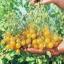 มะเขือเทศอิลดิ - Ildi Tomato thumbnail 2