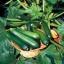 ฟักทองซูชินี่ แบล็คบิวตี้ - Black Beauty Zucchini Squash thumbnail 2