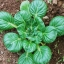ผักกวางตุ้ง แทตฉ่อย - Tat Soi Cabbage thumbnail 4