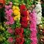 ดอกโฮลลี่ฮ็อคซ้อนคละสี - Mix Double Hollyhock Flower thumbnail 4