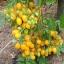 มะเขือเทศอิลดิ - Ildi Tomato thumbnail 1