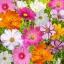 ดาวกระจายคละสี - Mix Color Cosmos Flower thumbnail 1