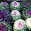 ปูเล่ประดับ คละสี - Osaka Series Mix Ornamental Cabbage thumbnail 4