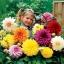 ดาเลียดินเนอร์เพลต(ดอกรักเร่) คละสี - Mix Dinner Plate Dahlia Flower thumbnail 1