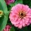 (Whole 1 Oz) ดอกบานชื่นสีชมพู - Pink Zinnia Flower thumbnail 3