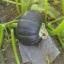(Whole 1 oz) ฟักทองบัตเตอร์คัพ - Burgess buttercup squash thumbnail 2