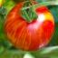 มะเขือเทศเสือ - Tigerella Tomato thumbnail 3