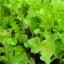 ผักสลัดโบว์ลเขียว - White Salad Bowl Lettuce thumbnail 2