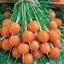 แครอท พันธุ์ปาริเซียน - Parisian Carrot thumbnail 1