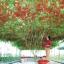 มะเขือเทศต้นอิตาเลี่ยน - Italian Tree Tomato thumbnail 1