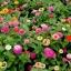 (Whole 1 Oz) ดอกบานชื่น คละสี - Mixed CA Zinnia Flower thumbnail 4