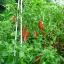พริกเซอราโน่ - Serrano Mexican Pepper thumbnail 3