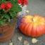 ฟักทองซินเดอเรลร่า - Cinderella Pumpkin thumbnail 2