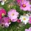 (Whole 1 Oz) ดาวกระจายคละสี - Mixed Cosmos Flower thumbnail 2