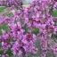 ต้นเรดบัด(Redbud Tree) ซองละ 5 เมล็ด thumbnail 1