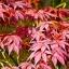 เมเปิลแดง ญี่ปุ่น - Red Japanese Maple Tree thumbnail 2