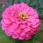 ดอกบานชื่นสีชมพู - Mixed Pink Zinnia Flower thumbnail 1