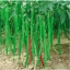 พริกยาวเขียว - Green Long pepper F1 thumbnail 1