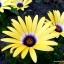 ดอกเดซี่แอฟริกา - African Daisy Flower thumbnail 4
