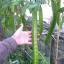 ถั่วพูยักษ์ - Giant Winged Bean thumbnail 2
