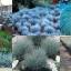 """หญ้าประดับ""""อีลิจาห์ บลู""""10 เมล็ด/ชุด thumbnail 1"""