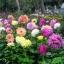 ดาเลียดินเนอร์เพลต(ดอกรักเร่) คละสี - Mix Dinner Plate Dahlia Flower thumbnail 5