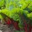 สวิสชาร์ตสีแดง - Ruby Red Swiss Chard thumbnail 3