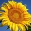 ทานตะวันแมมมอธ - Mammoth Sunflower thumbnail 1