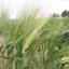 ข้าวบาร์เลย์ - Barley Rice thumbnail 2