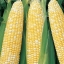 ข้าวโพดหวานเซอเรนดิพิตี้ - Serendipity Triple Sweet Corn F1 thumbnail 2