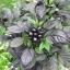 พริกประดับ ไข่มุกดำ - Black Pearl Pepper F1 thumbnail 3