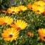 ดอกเดซี่แอฟริกา - African Daisy Flower thumbnail 3