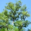 ต้นแบล็คโลคัสต์ ซองละ 10 เมล็ด thumbnail 2