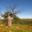 เบาบับเกรโกเร - Adansonia Gregorii Baobab thumbnail 3