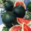 (Whole 1 Oz) แตงโมดำชูก้า เบบี้ - Sugar Baby Watermelon thumbnail 1