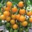 มะเขือเทศซันชูก้า - Sun Sugar Tomato F1 thumbnail 3