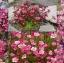 ดอกซาซิเฟรจ สีโรส 10เมล็ด/ชุด thumbnail 1