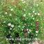 ยิปโซฟิล่า เรพเพน มิกซ์ 50 เมล็ด/ชุด thumbnail 1