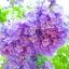 ศรีตรัง - Jacaranda mimosifolia Blue thumbnail 1