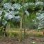 ต้นคะน้ายักษ์ ซองละ 5 เมล็ด thumbnail 2