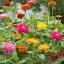 (Whole 1 Oz) ดอกบานชื่น คละสี - Mixed CA Zinnia Flower thumbnail 1