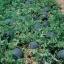 (Whole 1 Oz) แตงโมดำชูก้า เบบี้ - Sugar Baby Watermelon thumbnail 2