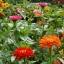 (Whole 1 Oz) ดอกบานชื่น คละสี - Mixed CA Zinnia Flower thumbnail 5