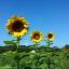 ทานตะวันแมมมอธ - Mammoth Sunflower thumbnail 3