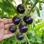 มะเขือเทศสีม่วง - Indigo Rose Purple Tomato thumbnail 1