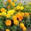 ดอกดาวเรืองคละสี - Mixed Marigold Flower thumbnail 1